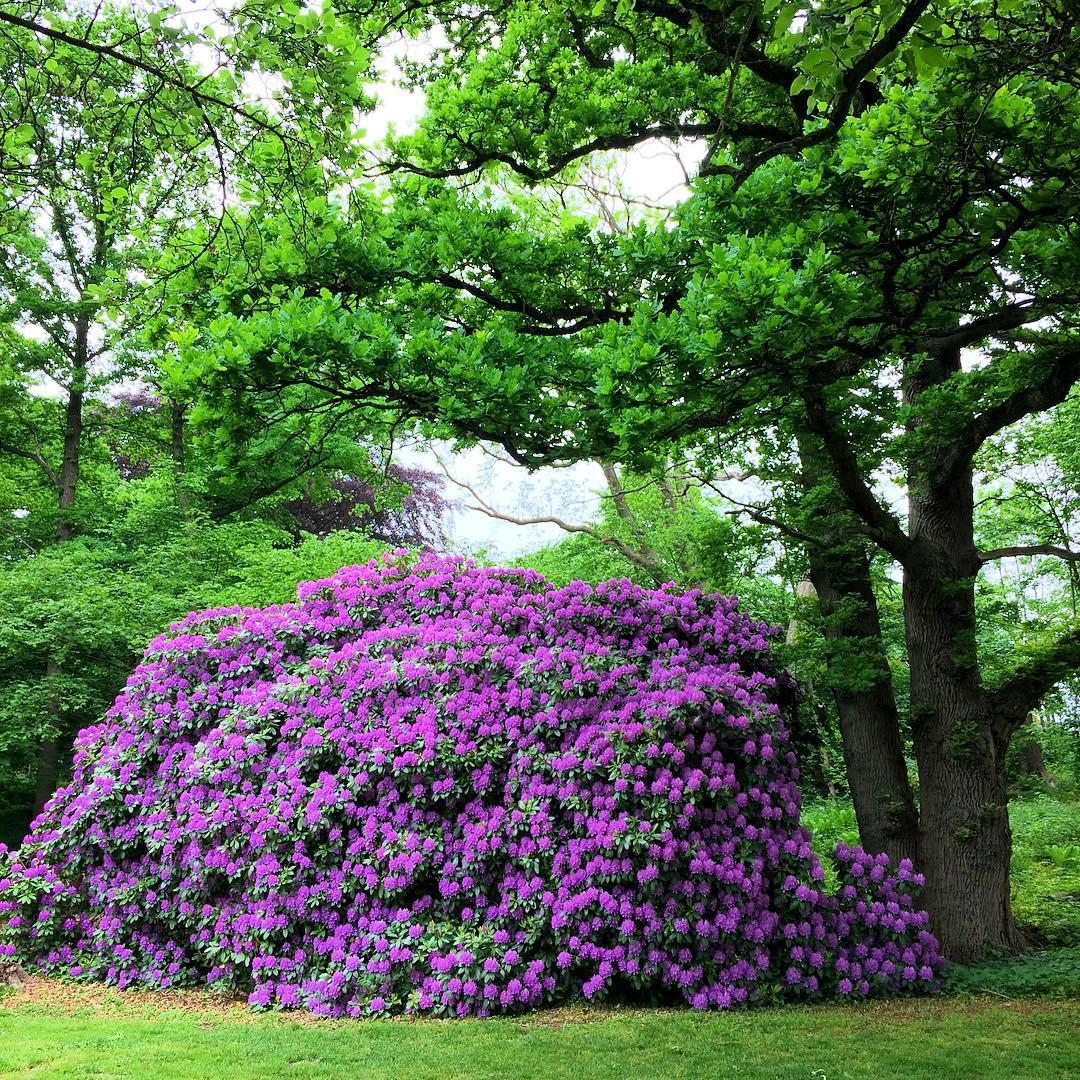Hysteriskt blommande rhododendron. Slottsmöllan. #halmstad #Halland #garden #rhododendron #Sweden